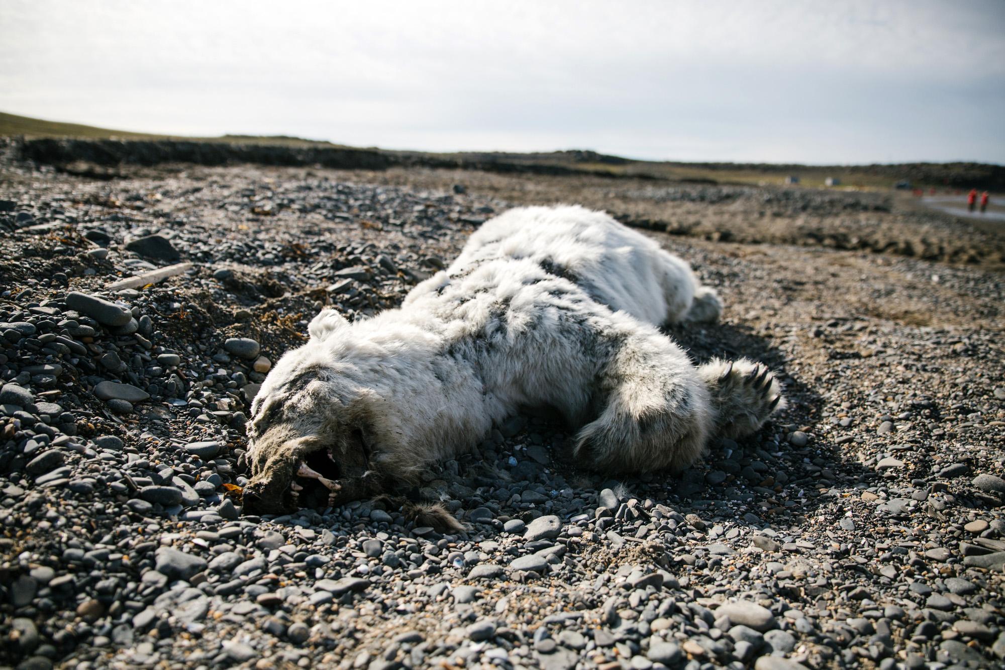 Toter Eisbär
